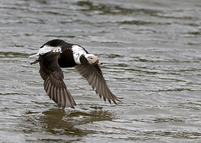 Long tailed duck.