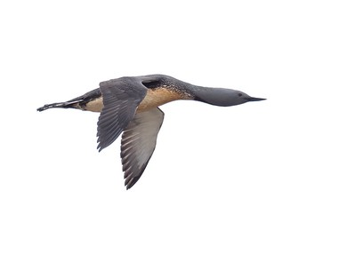 Red throated Diver in flight.