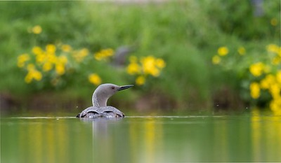 Red throated Diver with female on nest in the background.