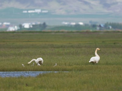 Whooper Swans with young.