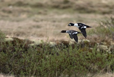 Barrow's Goldeneye in flight.
