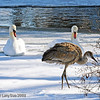 Rare wintering Sandhill Crane at Lake Laverne, ISU Campus, Ames, Iowa winter 2007 Jan-April in Chronolgical order- January with ISU resident swans