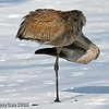 Rare wintering Sandhill Crane at Lake Laverne, ISU Campus, Ames, Iowa winter 2007 Jan-April in Chronolgical order- unusual pose in- February
