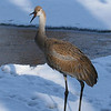 Rare wintering Sandhill Crane at Lake Laverne, ISU Campus, Ames, Iowa winter 2007 Jan-April in Chronolgical order - February