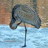 Rare wintering Sandhill Crane at Lake Laverne, ISU Campus, Ames, Iowa winter 2007 Jan-April in Chronolgical order- February