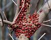 Ladybug Mug (thirteen spotted ladybugs, native, Ohio)
