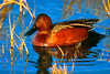 Cinnamon Teal (Bosque del Apache NWR, New Mexico)