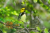 Black-throated green warbler on breeding grounds, calling