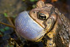 Toad in Love (American Toad vocalizing, spring)