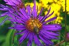 Purple Aster and leatherwing beetle, with goldenrod