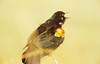 Harbinger of spring 1: Red-winged blackbird