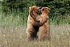 Dancing Bears (young grizzlies, Silver Salmon Creek, Alaska)