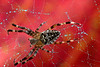 Scarlet Spider (house spider against autumn leaf)