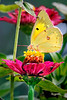 Sulfur Sip (sulfur butterfly on garden flower)