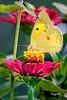 Sulfur Sip (sulfur butterfly on garden flower)