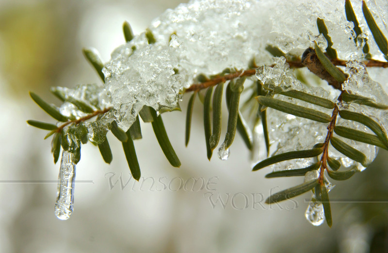 Icicles on conifer tree - Quakertown, PA