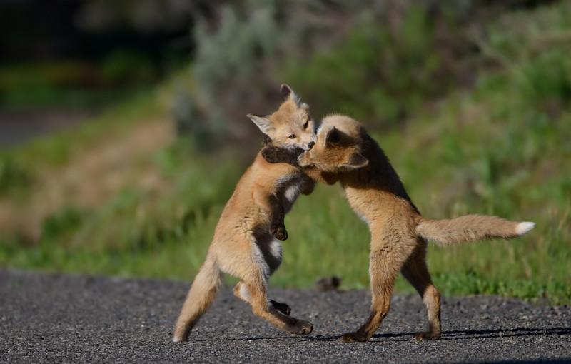 Fox Kits Play