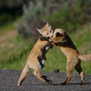Fox Kits Play