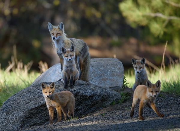 Fox Family Portrait