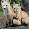 Fox cubs, McCall, Idaho