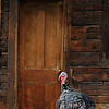 Turkey at Burgdorf cabin, Idaho