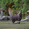 Moose Cow in Weiser River, Idaho