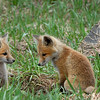 Young foxes at the entrance to their den