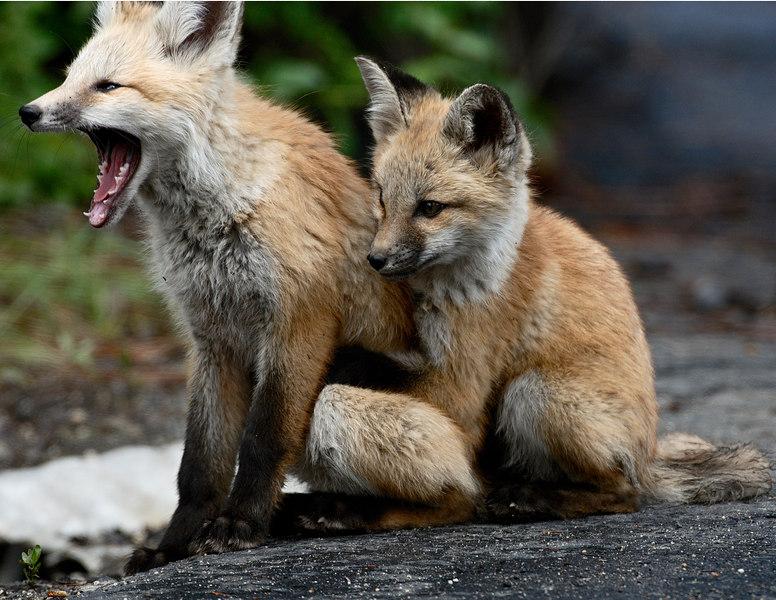 Fox cubs, McCall, Idaho