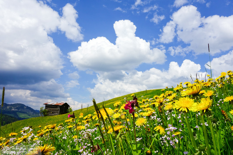 Summer meadow in the alps