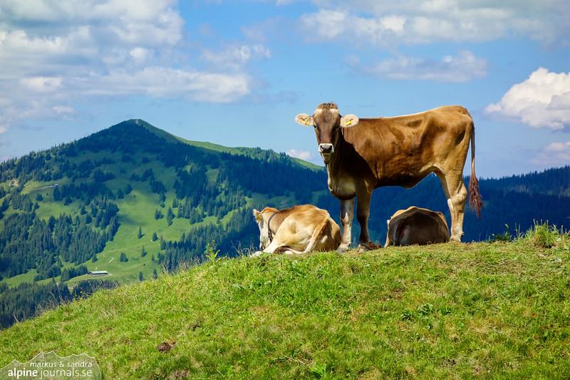 Summiteer! A happy cow proudly posing at Piesenkopf.