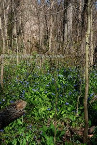 bluebells in timber area6403