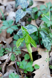 jack in the pulpit--coming up0138