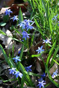 spring blue flower382