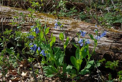 bluebells next to log6398
