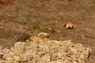 8/12/2008  A Lizard Friend