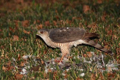 2/27/2008  This hawk took a bird in my yard and then to it to the neighbor's yard to consume it.