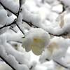 Star magnolia.  March 26