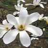 Star magnolia.  March 22