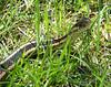 A garter snake.