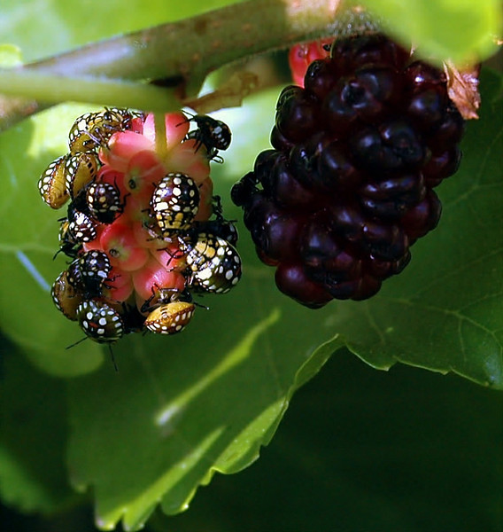 Stink Bug Nymphs