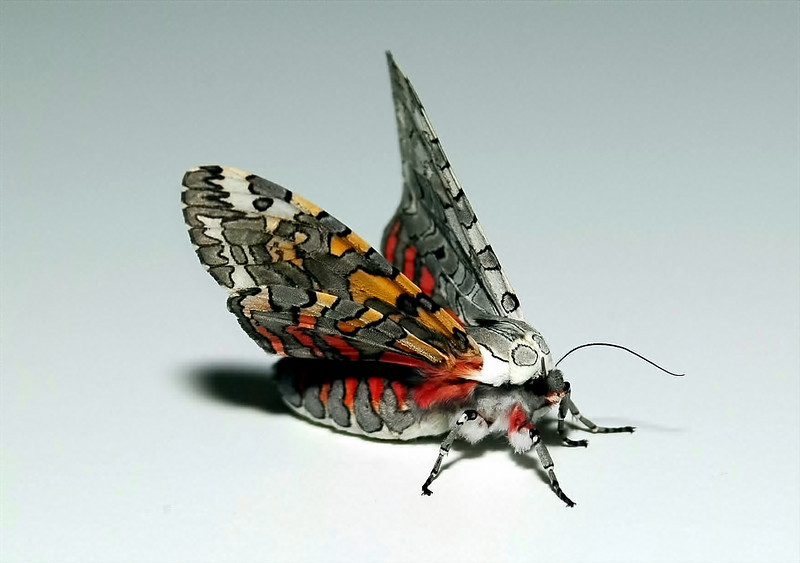 Painted Tiger Moth