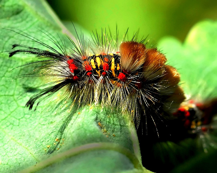 Tussocks Moth Caterpillar<br /> Anacapa Island - Channel Islands National Park