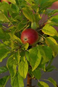 AppleOnTree