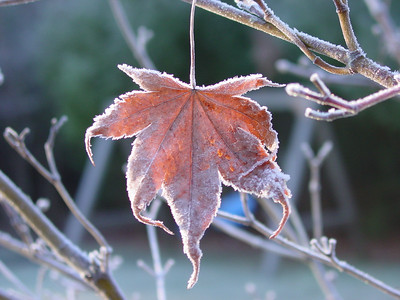 This Japanese Maple leaf was the only one left...It looked so fragile, cold and lonely.