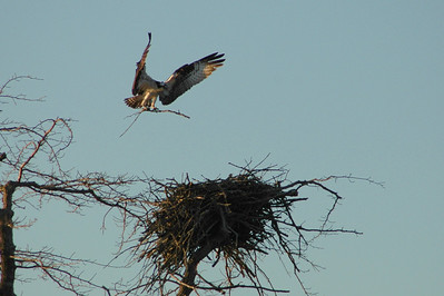 Osprey nest building at sunrise. Really fun to watch them do this.