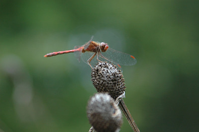 Can't imagine what this dragon fly is finding to eat on this dead plant head but he kept coming back to it.
