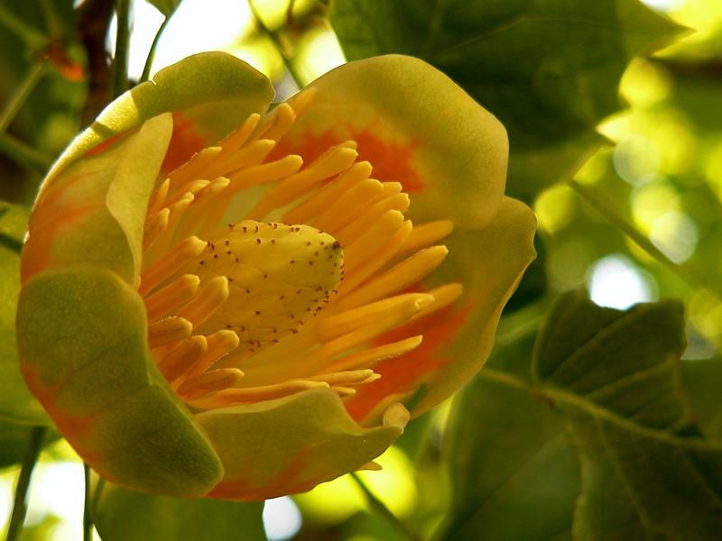 "Flower on tree in the Southwest corner of our backyard.  ""Tulip Tree"" Liriodendron tulipifera, perhaps aka ""Tulip Popular""."