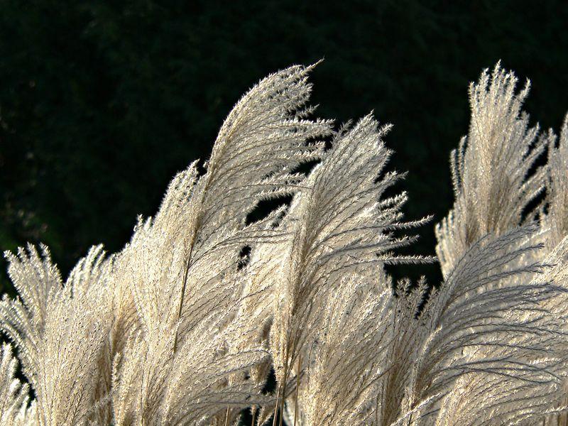 Pampas Grass<br /> <br /> --- P1000902__a.jpg ---