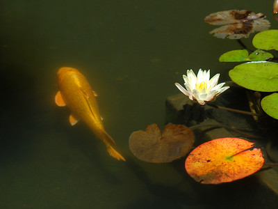 Yamabuki Ogon Koi, Cyprinus carpio, in Japanese garden pond.    Koi (錦鯉; shortened from Japanese nishikigoi) come in an infinite variety of colors and patterns, distilled from the bland coloration of their wild carp forebears through centuries of selective breeding.   Koi varieties are distinguished by coloration, patterning, and scalation. Butterfly koi, developed in the 1980s and notable for their long and flowing fins, are actually hybrids with Asian carp, and not considered true koi.   Koi breeding is generally held to have begun around the 17th century in the Niigata prefecture of Japan. Farmers working the rice fields would notice that some carp would be more brightly colored than others, capture them, and raise them (when normally the brighter colors would doom the fish to be more likely eaten by birds and other predators). By the 19th century, a number of color patterns had been established, most notably the red-and-white kohaku, but the outside world did not become aware of the degree of development until 1914, when the Niigata koi were exhibited in Tokyo, and some of them presented to Crown Prince Hirohito. At that point, interest in koi exploded throughout Japan and later worldwide.