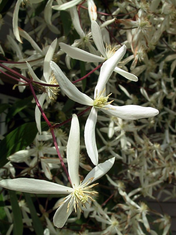 2001-04-14_1156_Clematis_at_RC